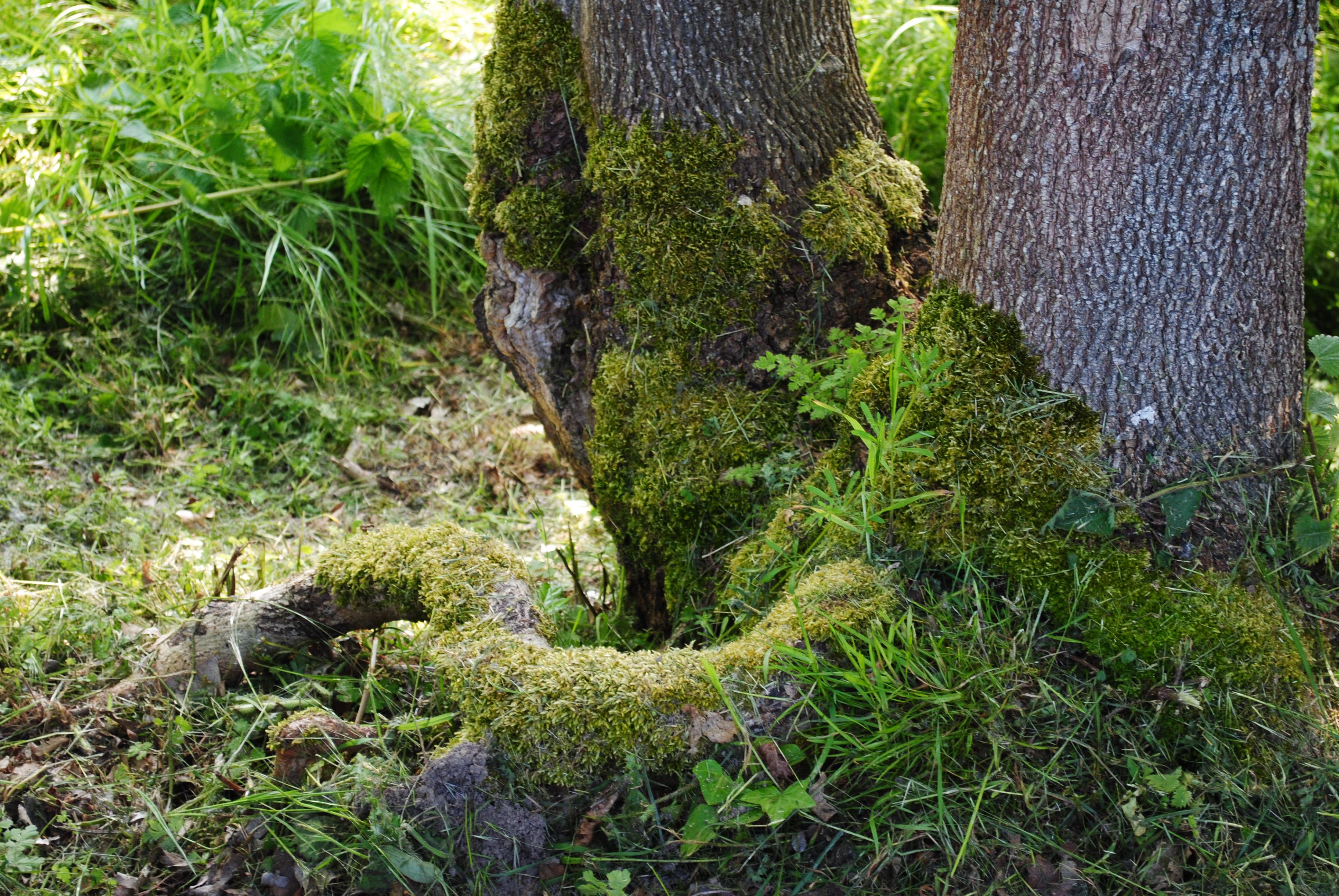 Un arbre moussu du Perche