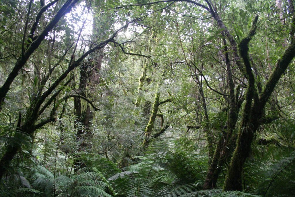Forêt en Tasmanie