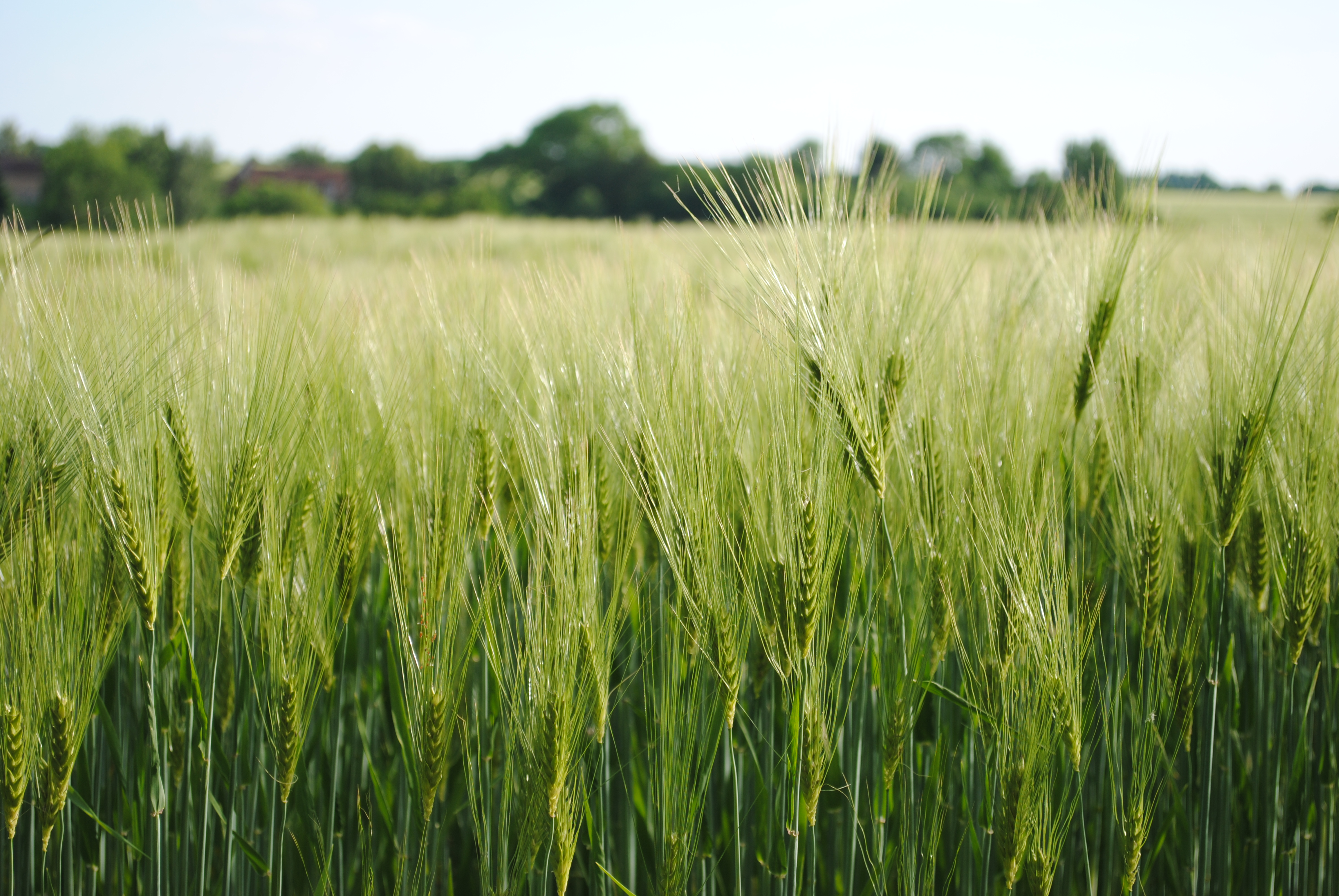 Champ de blé dans le Perche
